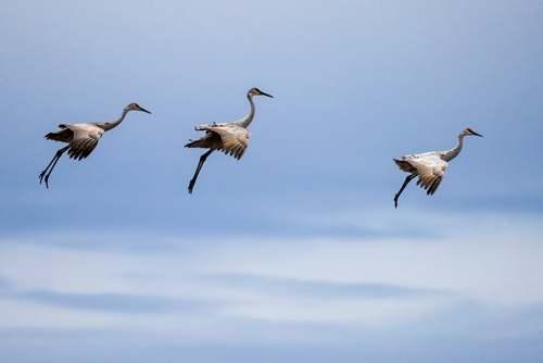پرواز مرغان ماهیخوار بر فراز پاک حیات وحش