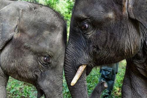 دو فیل آسیایی در یک منطقه حفاظت شده در استان