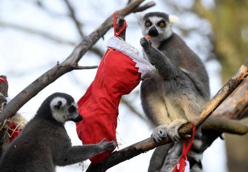 حال و هوای کریسمسی در باغ وحش لندن/ رویترز