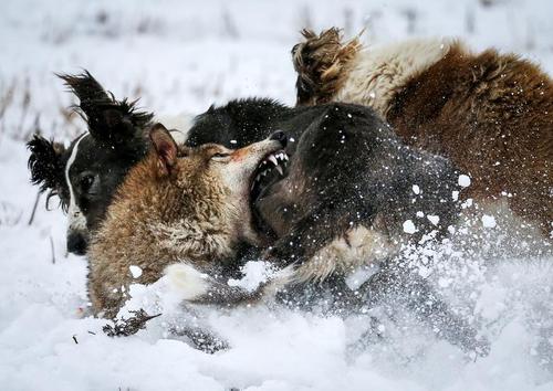 نزاع خونین گرگ و سگ شکاری در منطقهای حومهای از شهر