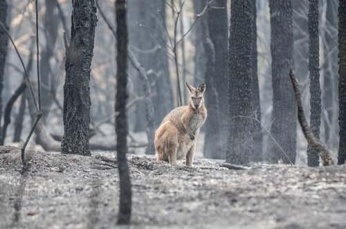 کانگورویی سرگردان در جنگلهای سوخته استرالیا/ گاردین