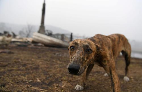 یک سگ در جنگلهای سوخته استرالیا/ رویترز