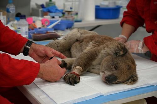 مداوای کوالای زخمی از آتش سوزی جنگلی در بیمارستانی در استرالیا/ خبرگزاری فرانسه