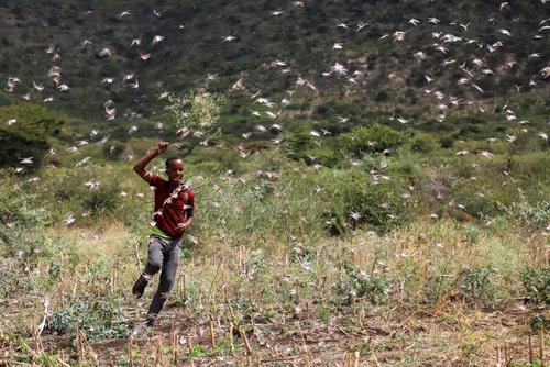 هجوم ملخهای صحرایی به مزارع اتیوپی و کنیا/ رویترز و EPA