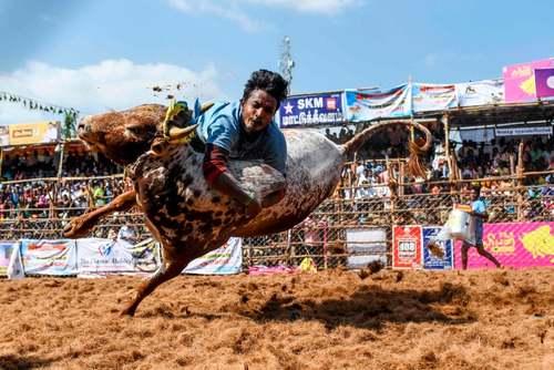 جشنواره سالانه گاوبازی در ایالت