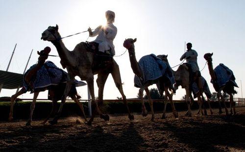 تمرین در پیست مسابقه شترسواری در دوبی/ گلف نیوز