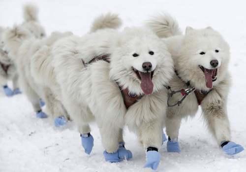 مسابقات 5 روزه سورتمه رانی سگها در جمهوری چک/ آسوشیتدپرس
