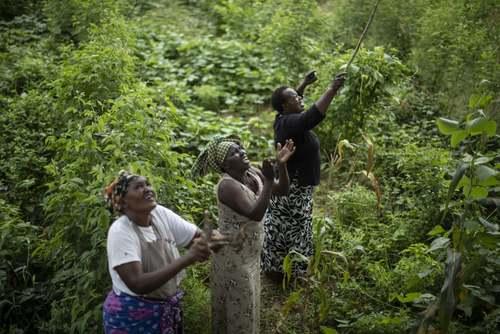 کشاورزان کنیایی در حال تاراندن ملخهای صحرایی مهاجم از باغات و مزارع/ آسوشیتدپرس