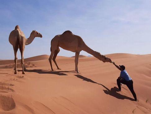 غذا دادن به شتر در صحرای امارات/ گلف نیوز