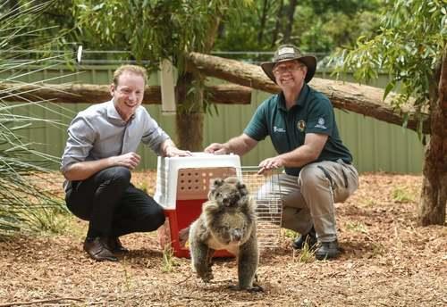 وزیر محبط زیست استرالیا (فرد سمت چپ تصویر) در حال رها کردن یک جفت کوآلای نجات یافته از آتشسوزی جنگلی در یک پارک حیات وحش/ آسوشیتدپرس