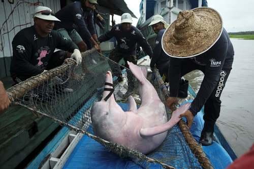انتقال یک دلفین صورتی در برزیل/ رویترز