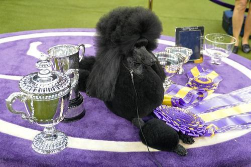 سگ برنده مسابقات  سالانه سگ خانگی در نیویورک/ رویترز و گتی ایمجز