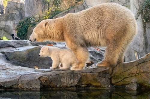 رونمایی از توله خرس قطبی باغ وحش وین اتریش/ خبرگزاری فرانسه