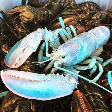 خرچنگ دریایی رنگین کمانی که احتمال وجود آنها ۱ در ۱۰۰میلیون است.