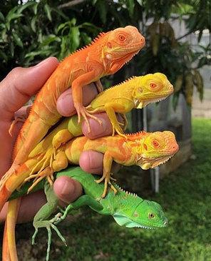 زیبایی این ایگواناهای چند رنگ