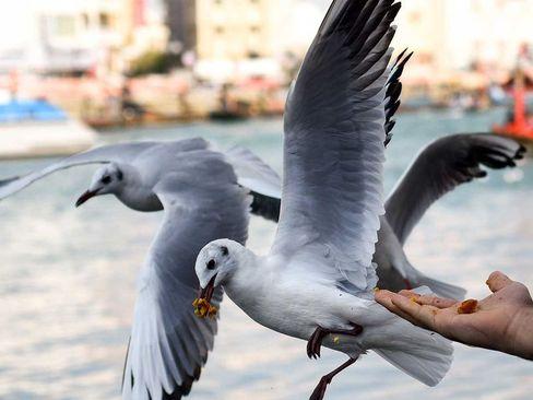 غذا دادن به مرغان دریایی/ دوبی/ گلف نیوز