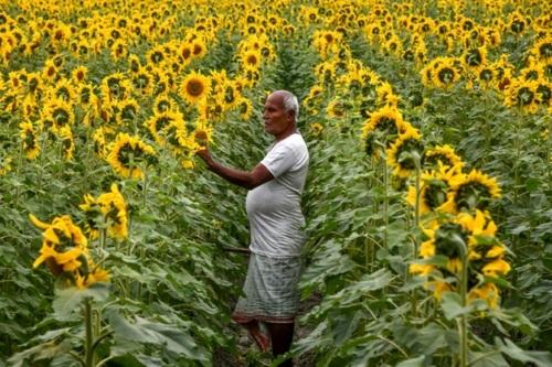 مزرعه گل آفتابگردان در ایالت