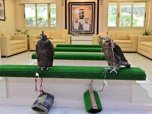 بیمارستان مخصوص پرندگان شکاری در ابوظبی امارات/ گلف نیوز