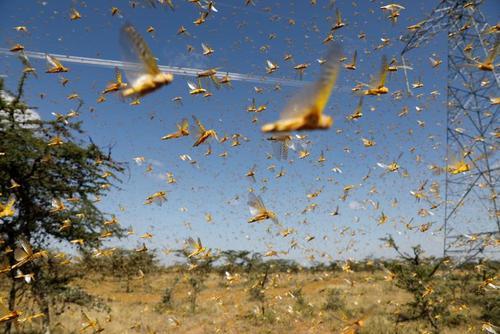 حمله ملخهای صحرایی به مزارع کنیا/ رویترز