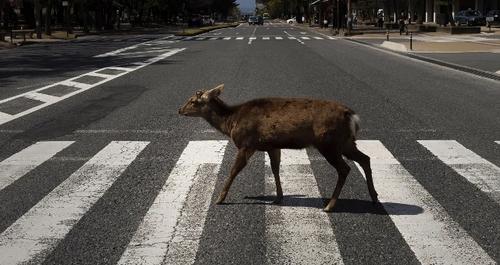 عبور یک گوزن از خط عابرپیاده خیابانی در شهر