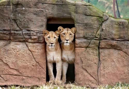 ماده شیرهای باغ وحشی در استرالیا/ آسوشیتدپرس استرالیا