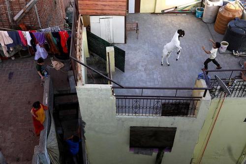 بازی با بُز در پشتبام خانه در بخش قدیمی شهر دهلی هندوستان/ رویترز