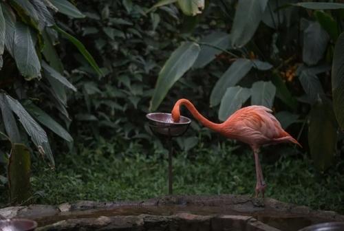 فلامینگو باغ وحشی در کلمبیا در حال غذا خوردن/ خبرگزاری آناتولی
