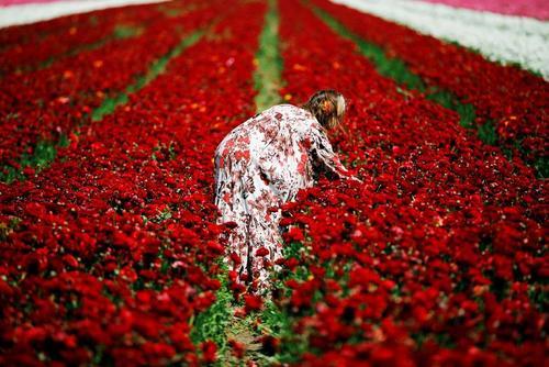 مزرعه گل آلاله در جنوب اسراییل و در مرز با نوار غزه/ رویترز