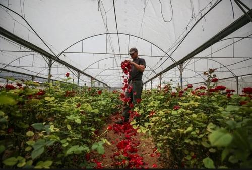 پرپر کردن گلهای یک گلخانه در نوار غزه به دلیل نبود مشتری/ خبرگزاری آناتولی