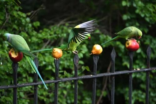 میوه خوردن طوطیهای باغهای