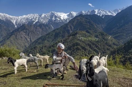 چوپان هندی پشت به رشته کوههای هیمالیا/ آسوشیتدپرس
