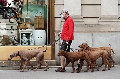 مرد نیویورکی با 6 سگ خود در حال پیاده روی/ گتی ایمجز