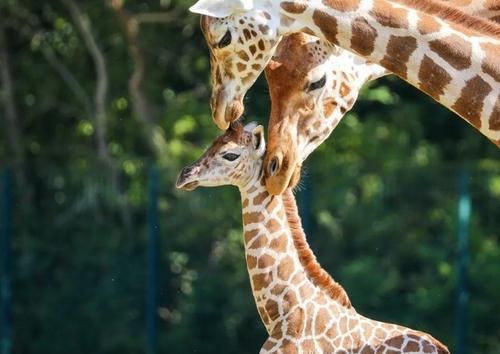 ناز و نوازش بچه زرافه 11 روزه باغ وحش برلین از سوی والدین/ EPA