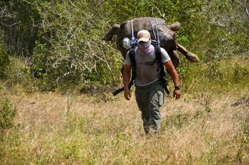 یک محیط بان در حال حمل یک لاکپشت غول پیکر نادر 100 ساله به سمت زیستگاه ساحلی/ اکوادور/ خبرگزاری فرانسه