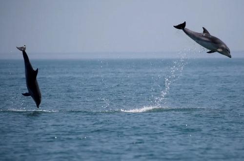 شنای دلفینها در سواحل فرانسه/ رویترز