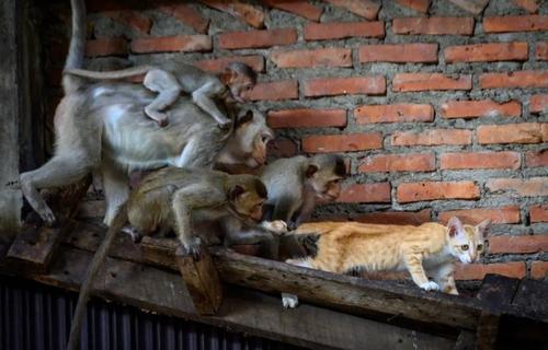 حمله میمونها به یک گربه در شهر