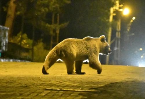 یک خرس قهوهای برای پیدا کردن غذا به شهر