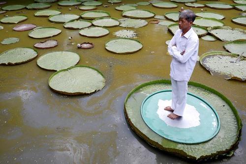 عکس گرفتن روی برگهای بزرگ نیلوفر آبی در ویتنام/ رویترز