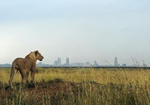 ماده شیر جوان در پارک ملی شهر نایروبی کنیا/ خبرگزاری فرانسه