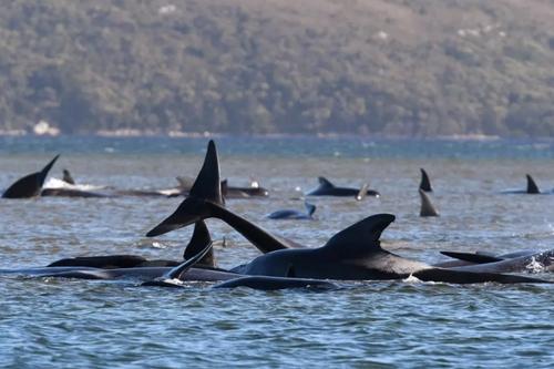 گرفتار شدن بیش از 250 نهنگ در ساحلهای شنی جزیره