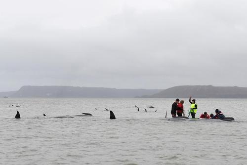 تلاش برای نجات 250 نهنگ گرفتار شده در ساحل
