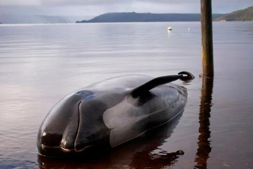یک نهنگ تلف شده در ساحل تاسمانی. طی روزهای گذشته 380 نهنگ که در آبهای ساحلی تاسمانی گیر افتاده بودند، تلف شدهاند./ خبرگزاری فرانسه