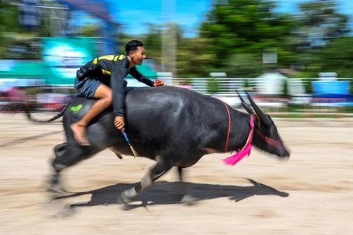 مسابقه سالانه بوفالوسواری در تایلند/ خبرگزاری فرانسه