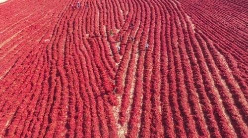 برداشت فلفل قرمز از مزارع/ چین/ گاردین