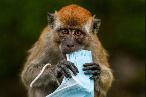 یک ماسک مستعمل رها شده در خیابان در دستان یک میمون کنجکاو/ مالزی/ خبرگزاری فرانسه