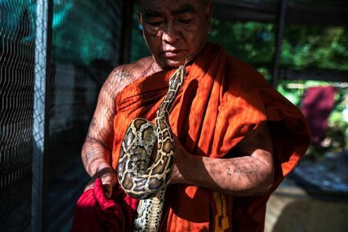 نگهداری مارهای پیتون در معبدی بودایی در حومه شهر یانگون میانمار/ رویترز