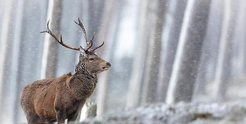 گوزن قرمز در برفهای زیبای اسکاتلند جایزه این مسابقه را برد. این عکس را فیل جیمز موسیقیدان ۲۶ ساله ثبت کرده است.