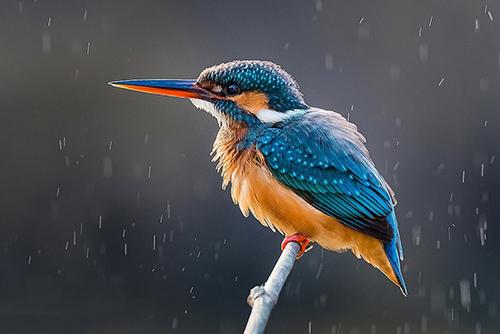 یک پرنده معمولی از زیبا به نام قرلی که نفیس آمین از بنگلادش آن را شکار کرده است. نفیس از ۸ سالگی عکاسی میکند و میگوید قرلی را به خاطر رنگهای زیبایش دوست دارد.