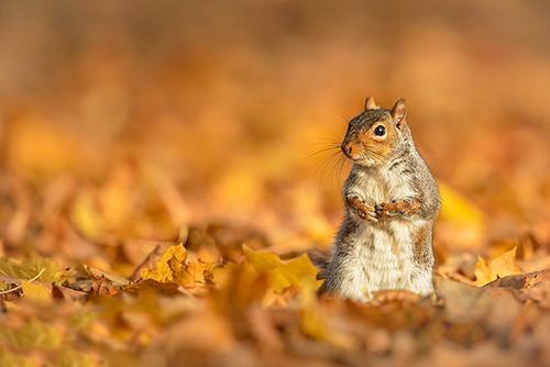 نفر دوم مسابقه کوین پیگنی، یک عکاس غیرحرفهای از کمبریج، که یک سنجاب خاکستری کنجکاو را در پاییز انگلستان ثبت کرده است.