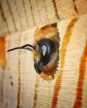 نمای نزدیک از زنبوری که در باغ یک کمدین و بازیگر معروف انگلیسی لی بریس مشغول استراحت است. کمدین ۳۸ ساله تصویر تأثیرگذار این جانور را در شهر اسکس و درحالیکه ثبت کرده است که زنبور در حال جویدن بخشهایی از برگ بود تا بتواند برای نوزادان آیندهاش لانه درست کند.